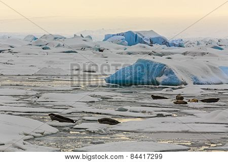 Seals in Jokulsarlon Lagoon in South Iceland