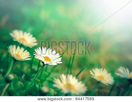 Beautiful little daisy flowers