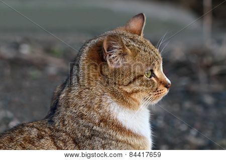 Portrait Of A Red Cat In Profile