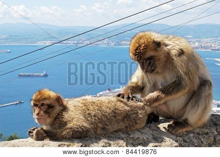 Two Barbary Apes, Gibrlatar.