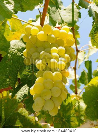 Grapes In Vinevard