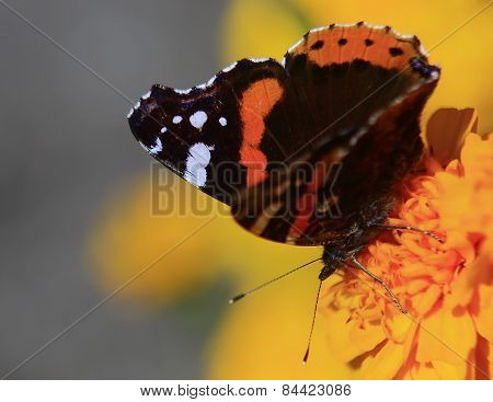 Black-orange Butterfly