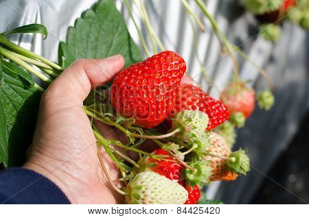 Strawberry On Hand Growing In Agriculture Farm