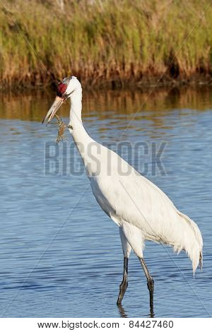 Whooping Crane Looking at Crab Grabbing Its Beak