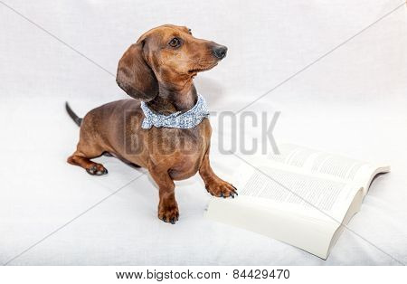 Dachshund Dog Isolated Whit  Book