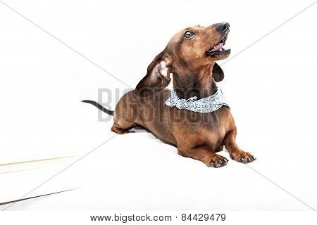 Dachshund Dog Isolated
