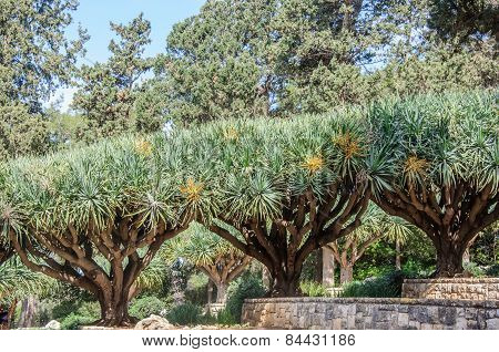 Row Of Trees In Gardens Of Baron Edmond De Rothschild (national Park Ramat Hanadiv). Israel.