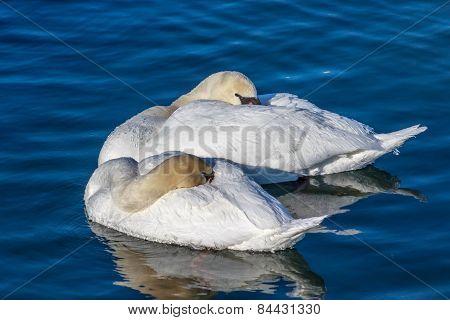 Frosty Sleeping Mute Swans