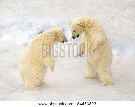 Polar bears Cub