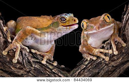 Gecko Frog With Friend