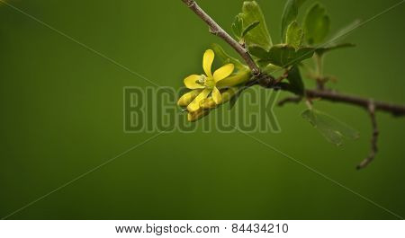 flower currant