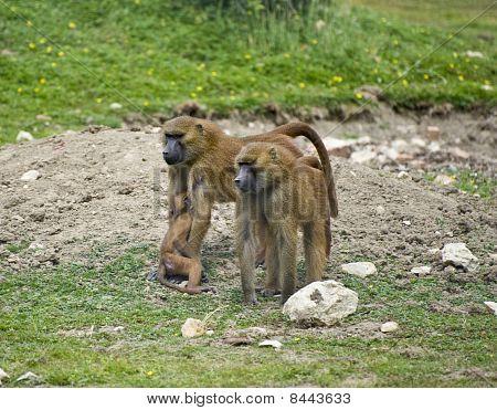 Baboon 6