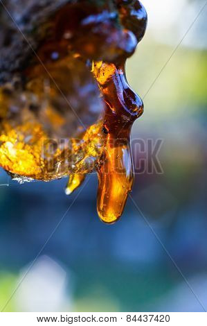 Solid Amber Resin Drops On A Cherry Tree Trunk.