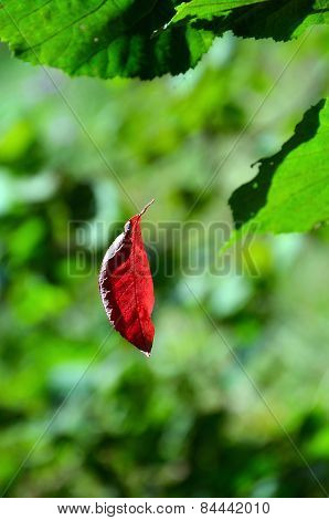 Red leaf hangs on the web among green leaves