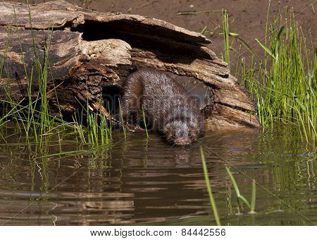 Mink Entering Lake for a Swim