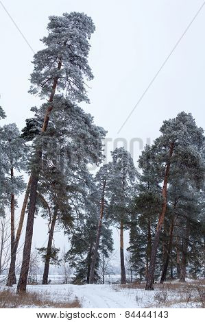 Pine Trees In The Forest Covered With Hoarfrost