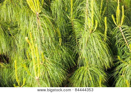 Coniferous Branches With Young Shoots