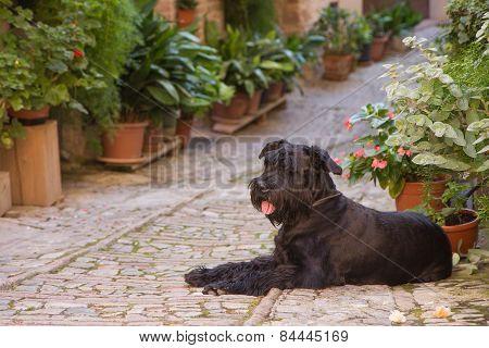 Big Black Schnauzer Dog Is Lying In The Flower Street