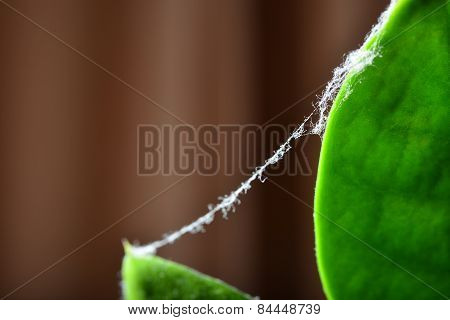 Cobweb On A Green Leaf