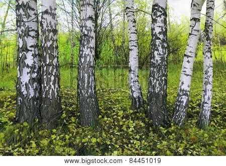 Birch Grove In The Spring