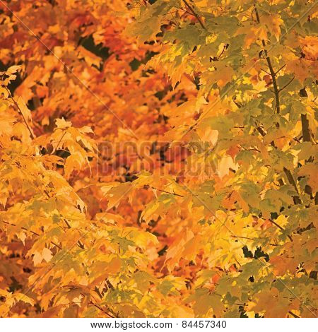 Abstract Red And Golden Maple Leaf Autumn Background,  Large Detailed Vibrant Colorful Closeup
