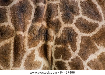 Giraffe Skin Close Up