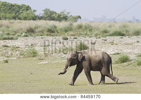 Asian Elephant In Bardia, Nepal