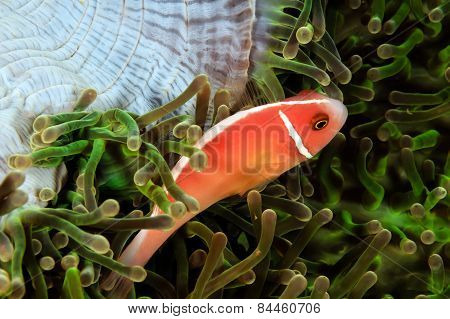 Skunk Clownfish