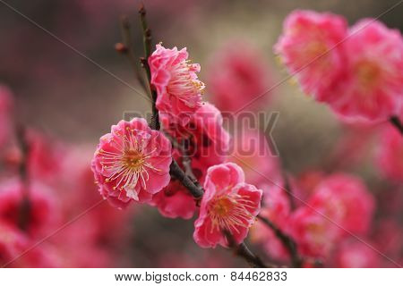 Beautiful plum flowers bloom