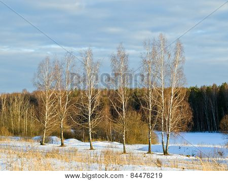 Birch trees in a field on a background of the forest