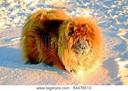 Chow Chow Dog, Sun And White Snow.