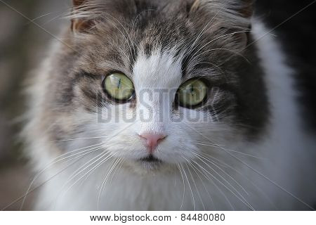 Gray And White Cat