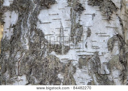 Bark of silver birch, detailed view