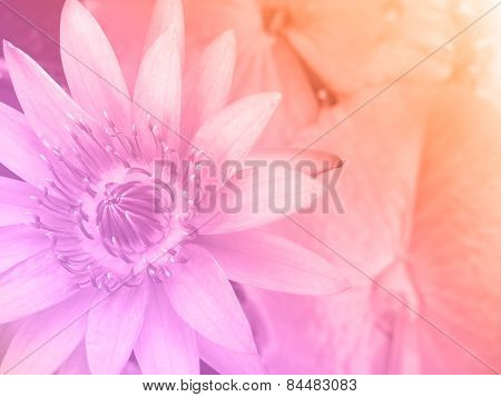 Sweet Color Water Lily