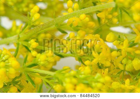 Yellow Bedstraw (galium Verum) Flowers Close-up