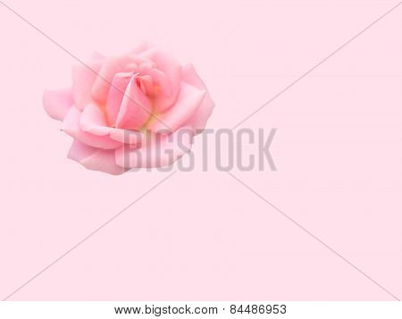 Soft pink rose on pink background romantic love concept