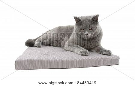 Gray Cat Lying On A Pillow Isolated On White Background