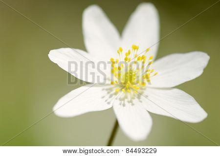 wood anemone (Anemone nemorosa)
