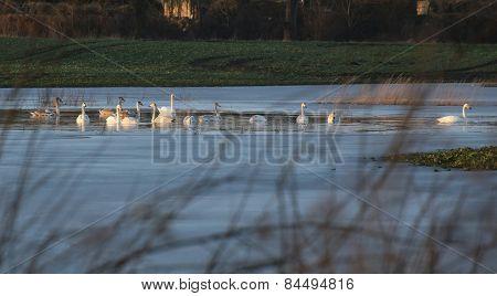 Swimming Mute Swans