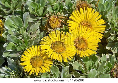 Sunlit Yellow Flowers Closeup