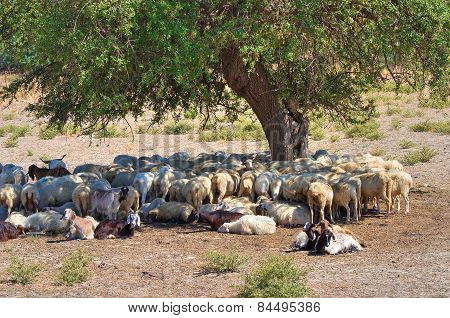 Sheep grazing.