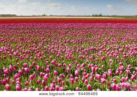Tulip field with different colors