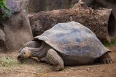 pic of tortoise  - The tortoise lives at the zoo in Tenerife - JPG