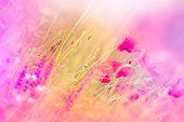 picture of poppy flower  - Poppy flowers between purple flowers in meadow  - JPG