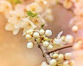 stock photo of bud  - Soft focus Budding bud  - JPG