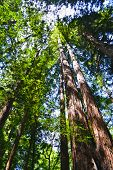 pic of redwood forest  - Sunlight in the Sequoia forest Muir Woods California - JPG