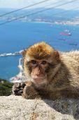 stock photo of ape  - Barbary Ape  - JPG