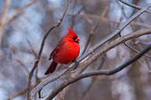 foto of cardinal  - This picture depicts a Northern Cardinal warming itself in a bright winter sun - JPG