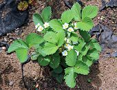 picture of strawberry plant  - Flowering strawberry plant on the gardenbed in the spring - JPG
