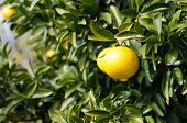 picture of satsuma  - Japanese orange hanging on tree in Kawazu ,Japan